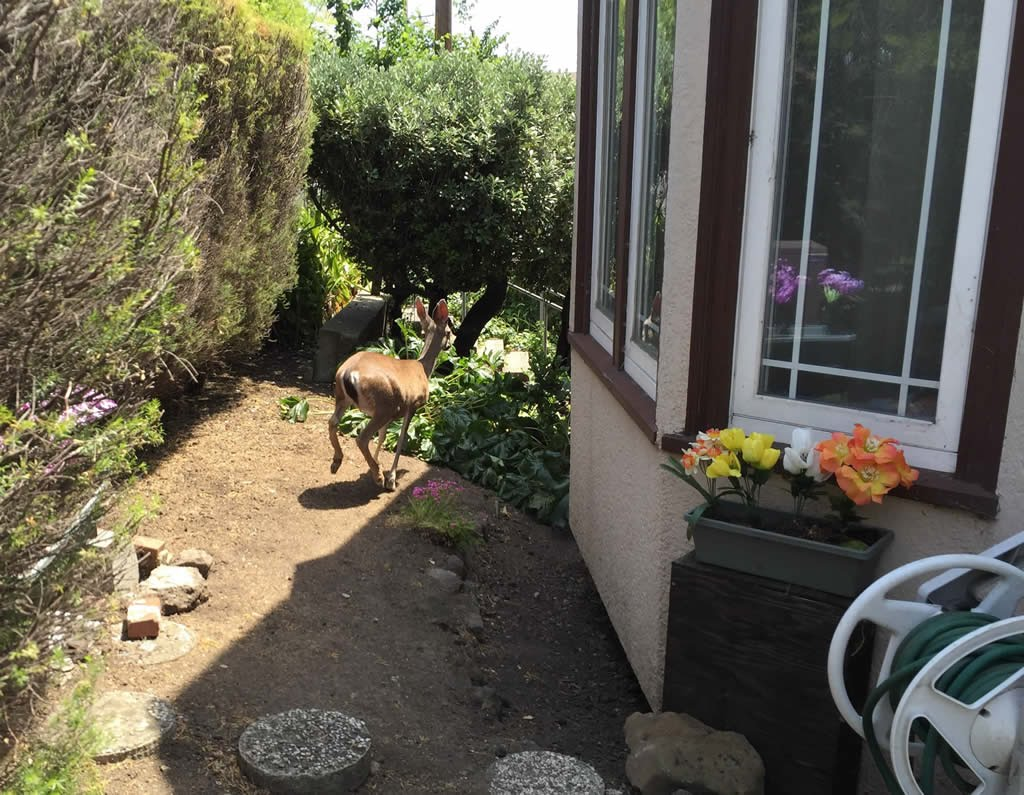 Deer in front of a house