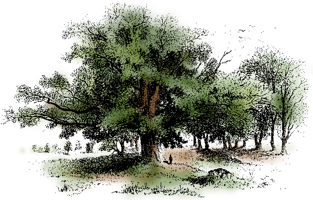 illustration of an oak tree