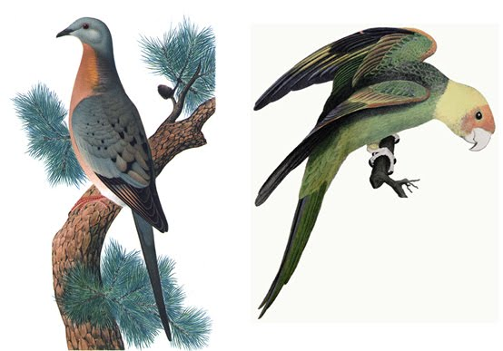 Passenger Pigeon and parrot