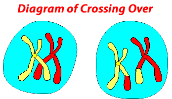 Diagram of crossing over