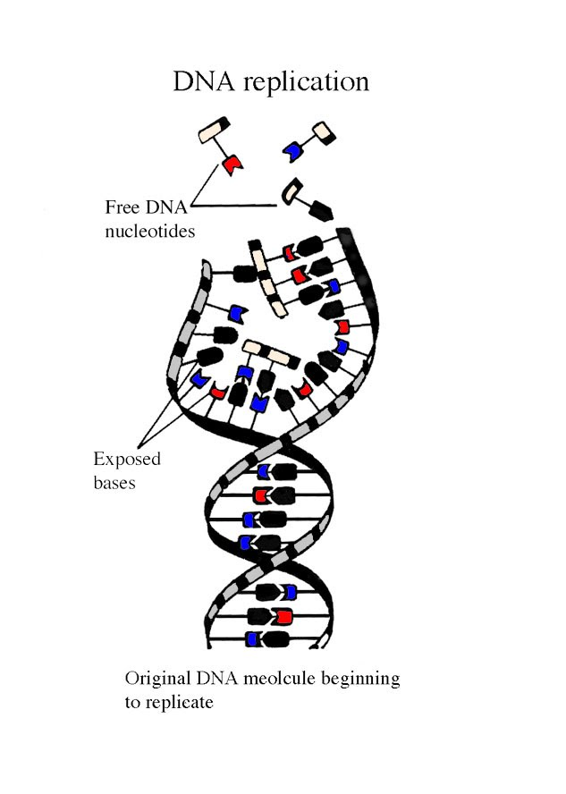 Diagram of DNA bases