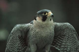 A photo of a falcon