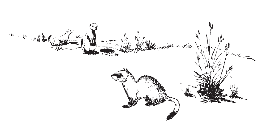 Drawing of ferret and prairie dogs